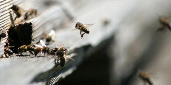 The Dance language of honeybees Is sloppy
